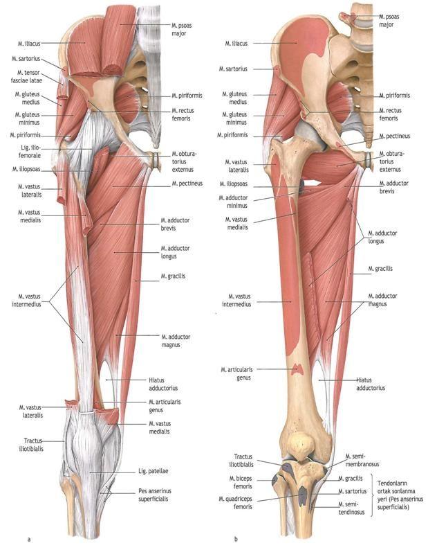 Medial Thigh Muscles Muscles Bones Pinterest