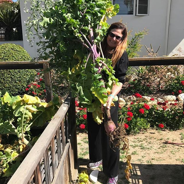 I guess I am a bit late on harvesting my radishes. #vegetables #garden #salad #ranchosantafe #picnic #farmersmarket #ranchosantafelocals #sandiegoconnection #sdlocals #rsflocals - posted by Holly Manion  https://www.instagram.com/ranchosantafeliving. See more post on Rancho Santa Fe at http://ranchosantafelocals.com