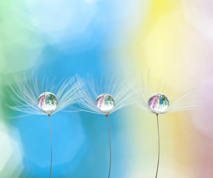 Droplet fairys  by Paul Quinn, via 500px: Droplet Fairies, Droplet Fairys, Water Drops, Dandelion, Macro Photography, Pqphotography Deviantart Com, Pretty Pastel, Beautiful Photography, Water Droplets