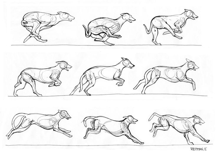 A quick study of the greyhound in motion. No more than a few minutes spent on each drawing. Sakura Gelly Roll pen on animation paper. Reference used: Clients time lapsed photos of their greyhound r...