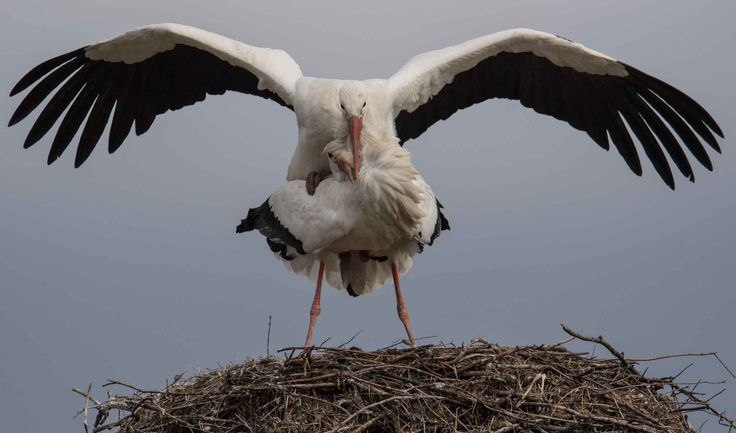Two storks mate on their nest in Biebesheim am Rhein, western Germany, on March 2, 2017.