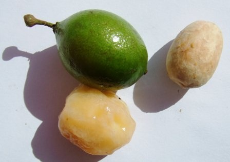mamon fruit and seed | Notre Dame Business on the ...