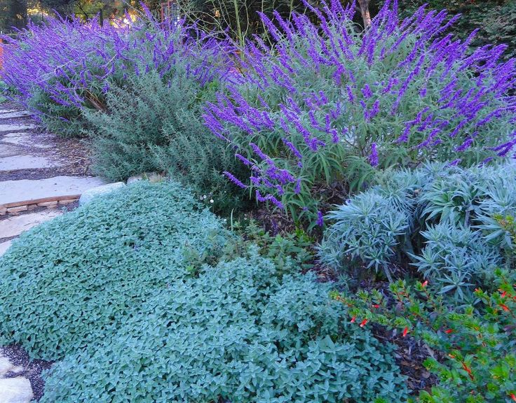 ...give your Salvia leucantha plenty of room to spread – as it will do. It usually tops off at about 6′ wide by 3′-4′ in height. Full sun and well drained soil...