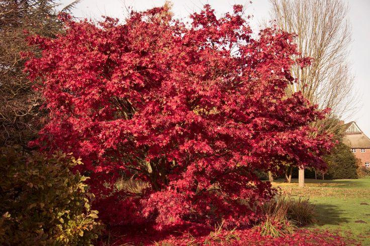Roter Fächerahorn - Acer palmatum Atropurpureum günstig online kaufen #Ahorn #Fotografie #Garten #Natur #Laub #Herbst #Farbe #Pflanze #Baum