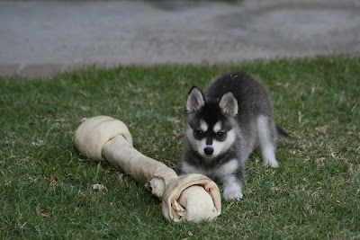 Alaskan klee Kai..not a puppy but a  toy breed, they are only about 13 inches high  (Kai) means small dog