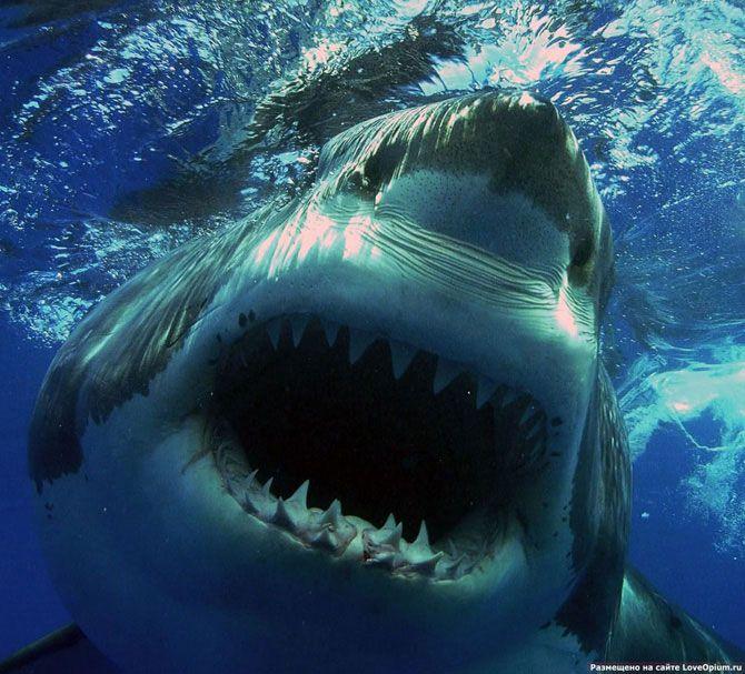 Акулы - грозные хищники морей и океанов | Картинки с ...