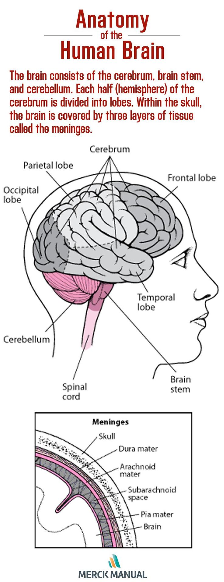 The brain has three main parts: the cerebrum, the brain stem, and the cerebellum. Click to learn more about each unique part.