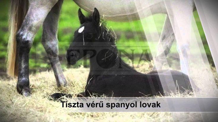 Epona Spanyol Lovasiskola Nonprofit Kft  http://www.epona.hu/