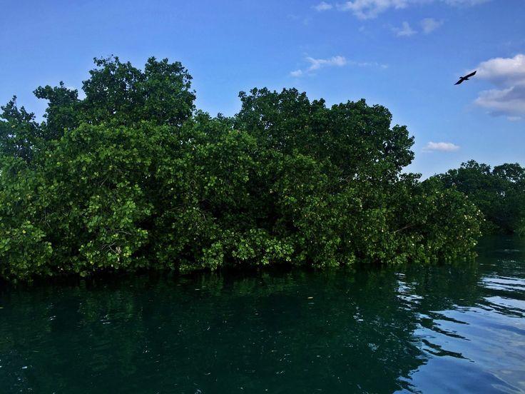Mangrove of Stone Town #mangrovetrees #mangrove #boattour #boattrip #sailing #zanzibar #tanzania #africa #stonetown #water #indianocean