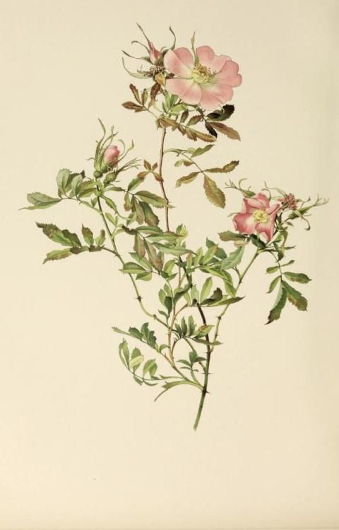 Rosa Foliolosa. Illustration taken from 'The Genus Rosa' by E. A. Willmott. Illustrations by Alfred Parsons. Published 1914 by John Murray. London. Harvard Botany Libraries.
