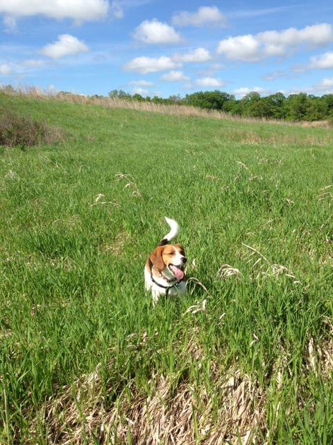 Little Beagle on the Prairie!