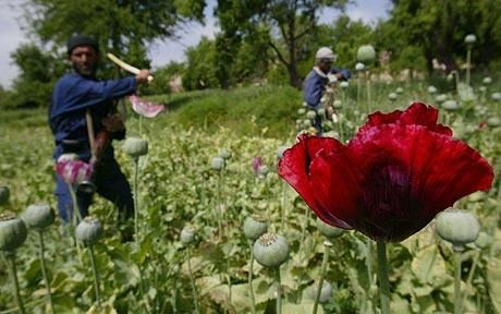The British Government said destroying poppy fields remained a key deterrent to growers and one of the seven pillars of its anti-opium strategy in Helmand province, just a day after Richard Holbrooke, the US envoy to Afghanistan, said that destroying the crop only drove poor farmers to join the insurgency.