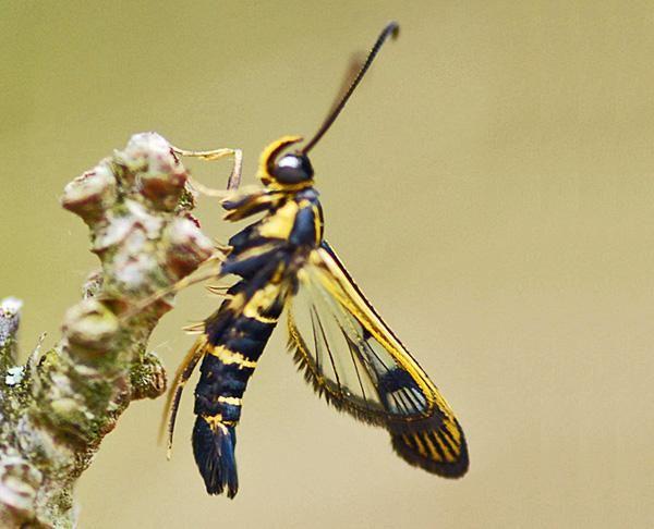 27 best images about entomologia on pinterest saitama - Cimice del pomodoro ...
