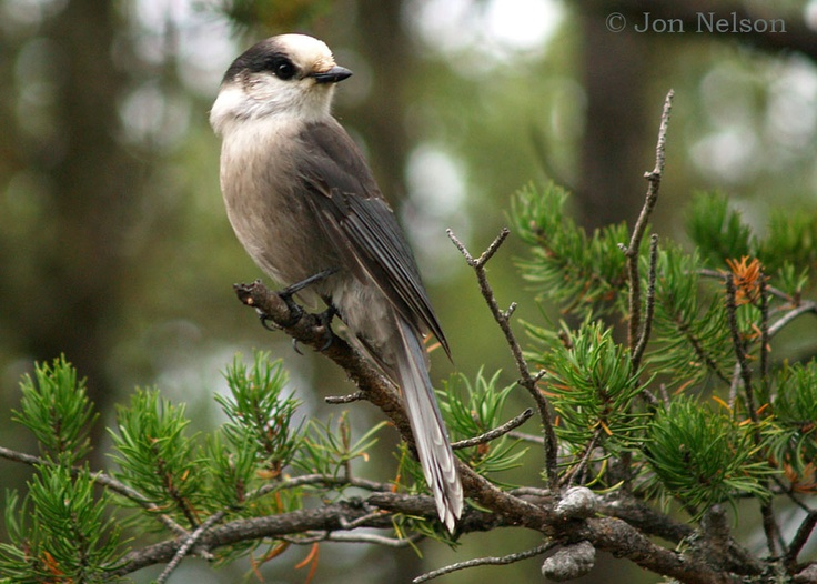 Whiskey Jack/ Grey jay, Elfin Lakes