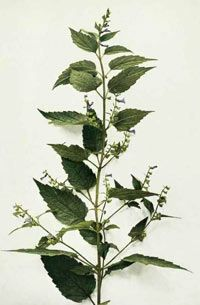 """Skullcap. This slightly bitter, not very aromatic mint has cell-protecting, anti-inflammatory, muscle-relaxing, and gently sedative properties, as well as many nourishing minerals. It is specific for anxiety and """"raw nerves"""" rooted in exhaustion, with symptoms like muscle spasms, tremors, tension headaches, or sensations of heat."""