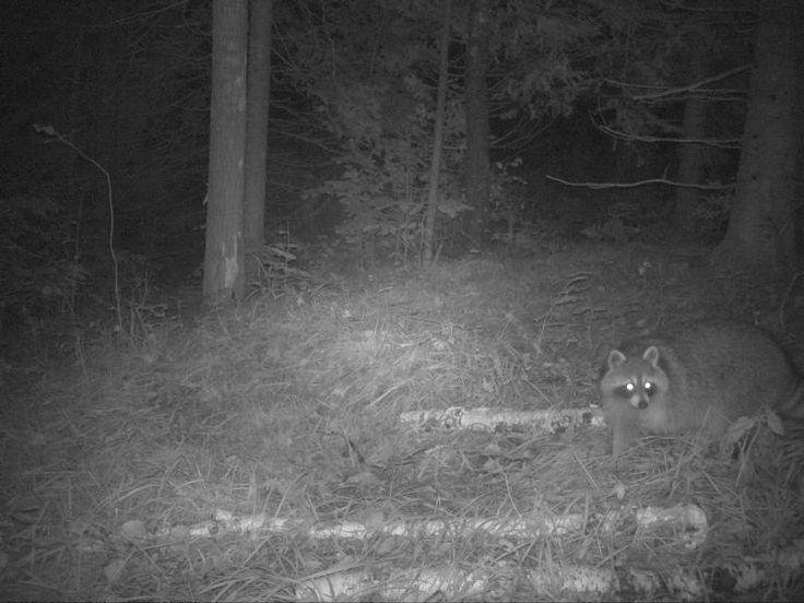 Raccoon-Jackson County