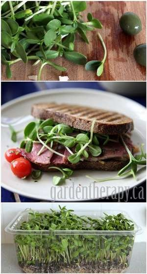 1000 images about general microgreen recipes on pinterest for Best growing medium for microgreens