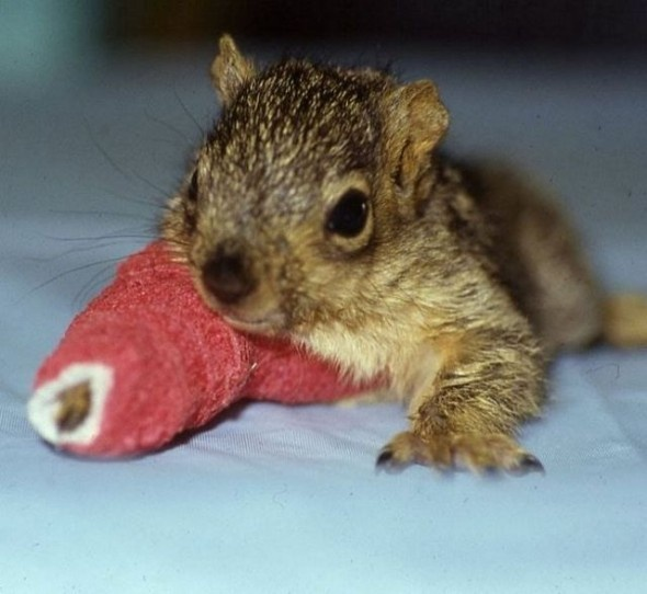 Baby squirrel with a cast