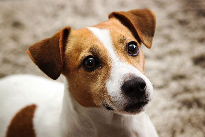 Jack Russel Terrier Dog Breed Picture