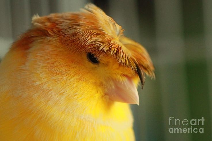 gloster canary ---Canaries on Pinterest | Canary Birds, Birds and Red Agate www.pinterest.com736 × 490Search by image