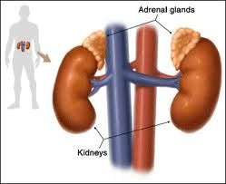 Your Adrenal Glands Part II: Testing For and Recognizing Adrenal Gland Problems