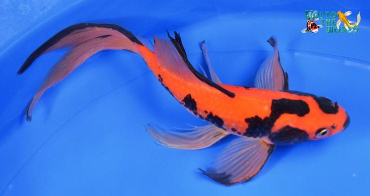 Ebay has several exotic goldfish now for sale                                                                                                                                                                                 More