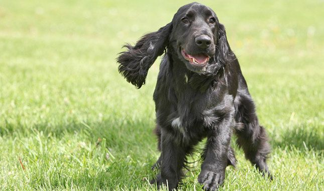 Grooming A Field Spaniel 114 best images about ...