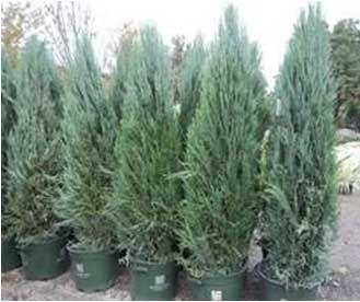 Juniper, Blue Arrow – Landscaping Supplies, Services, and Garden Center
