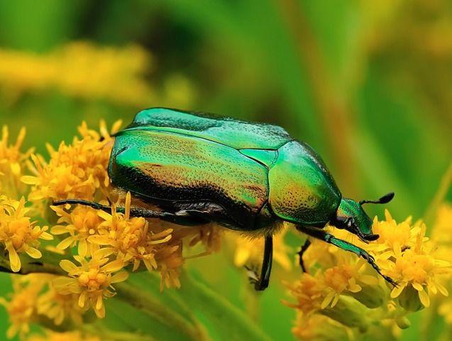 Les 25 meilleures id es concernant hanneton insecte sur pinterest scarab insectes et scarab e - Insecte vert volant ...