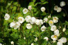 Vackra vårblommor-Tuvsippa