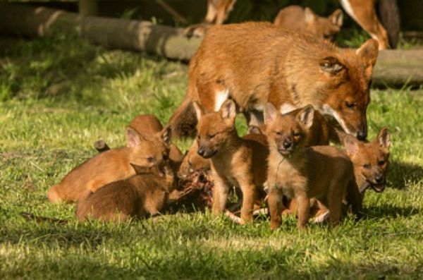 Its a family affair for dhole puppies at Howletts Wild Animal Park c Dave Rolfe rs