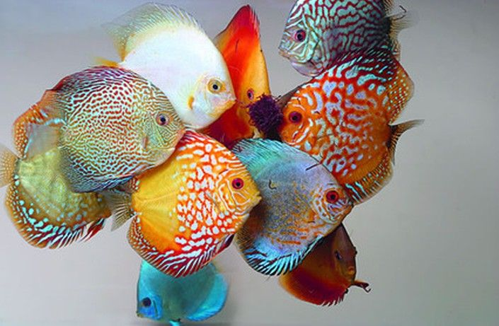 Discus Fish (Symphysodon spp.)  Selective breeding has resulted in diverse colour and patterning variation amongst discus species. From the original three species of wild fish, Discus have been line bred and hybridised to produce some stunning tank-bred fish with amazing all-over body colour.
