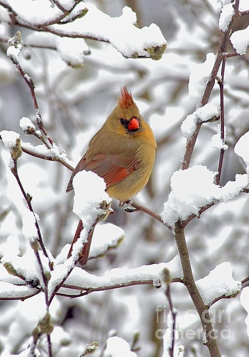 22 best images about bright red cardinals on pinterest - Pictures of cardinals in snow ...