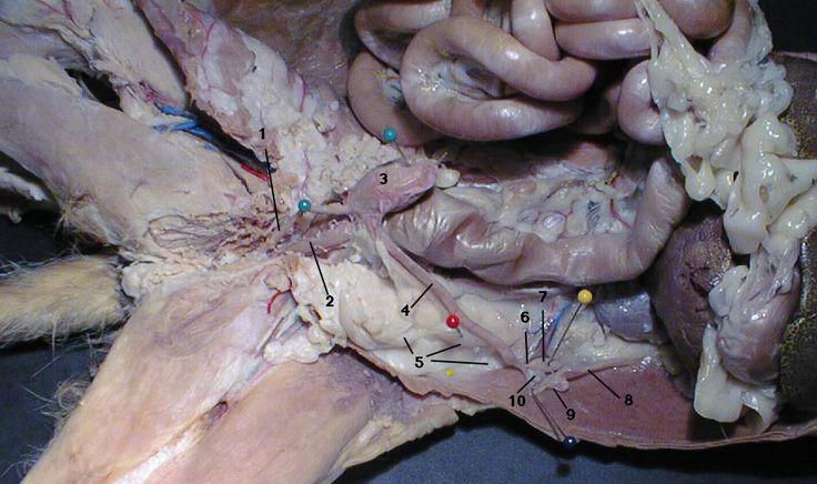 1.Urethra 2.Body of Uterus 3.Bladder 4.Uterine Horn 5.Broad Ligament 6.Ovarian Ligament 7.Ovary 8.Suspensory Ligament 9.Fallopian Tube 10.Mesosalpynx