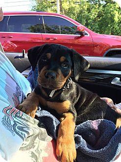 Fort Wayne, IN - Rottweiler Mix. Meet Rottie Girls, a puppy for adoption. http://www.adoptapet.com/pet/18299699-fort-wayne-indiana-rottweiler-mix