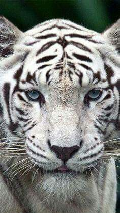 Animals Are Hype White Tiger