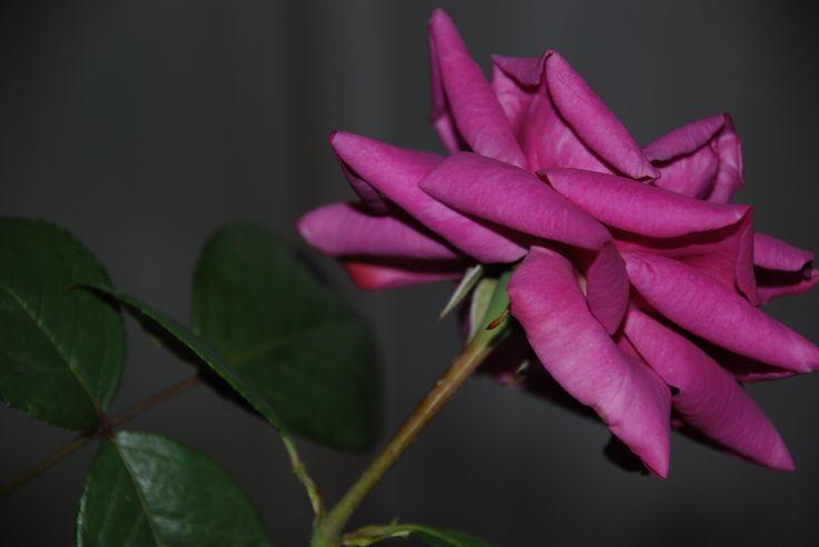 trandafir ciclam