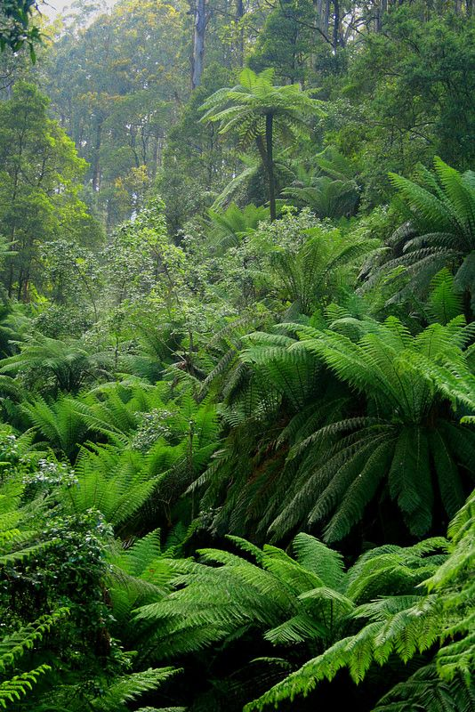 Steeped in green. Fern Gully, Marysville, Victoria. Many paths lined with tree ferns around here. www.marysvilletourism.com/visit-marysville-apps