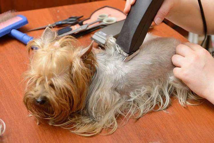 Quelle tondeuse utiliser pour toiletter votre chien?          Cherchez-vous les meilleurs tondeuses pour les chiens ? Si oui, alors vous êtes au bon endroit. Voici une une liste des 5 meilleurs tondeuses à chien que vous pouvez acheter. Nous allons vous donner un aperçu des caractéristiques à regarder, afin que vous puissiez faire le meilleur choix pour votre situation.