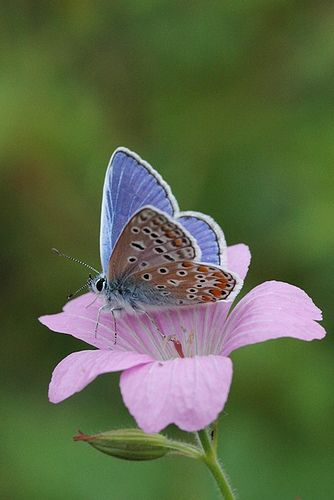 Common Blue butterfly - Amsterdam | on a pink flower. | IvoMathieuGaston | Flickr