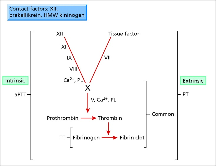 Simplified coagulation cascade indicating the intrinsic pathway measured by the activated partial thromboplastin time (aPTT), the extrinsic pathway measured by the prothrombin time (PT), the common pathway (factor X, factor V, prothrombin, and fibrinogen) measured by PT and aPTT, and the conversion of fibrinogen to fibrin measured by the thrombin time (TT). HMW = high molecular weight.