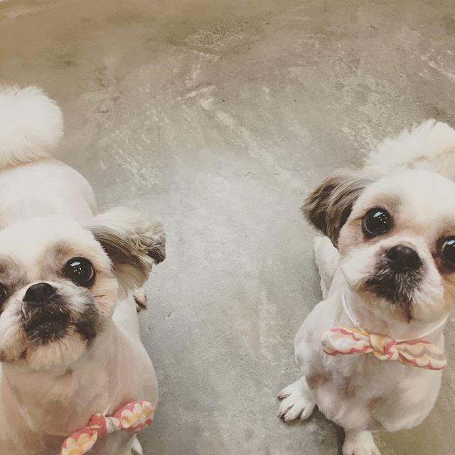 てんちゃん&うみちゃん♡ 迎えにいくとうみちゃんは喜んでクレートに入ってくれます。 てんちゃんはお店でクレートの中からすぐ出れるようになりました。 dog #dogstagram #dogdays #instadog #doglover #doglife #dogpark #犬 #愛犬 #わんこ #犬のいる暮らし #わんこのいる暮らし #犬バカ部#クロクマ舎#グルーミング#トリミング#明和町#ハズバンダリートレーニング#松阪#伊勢