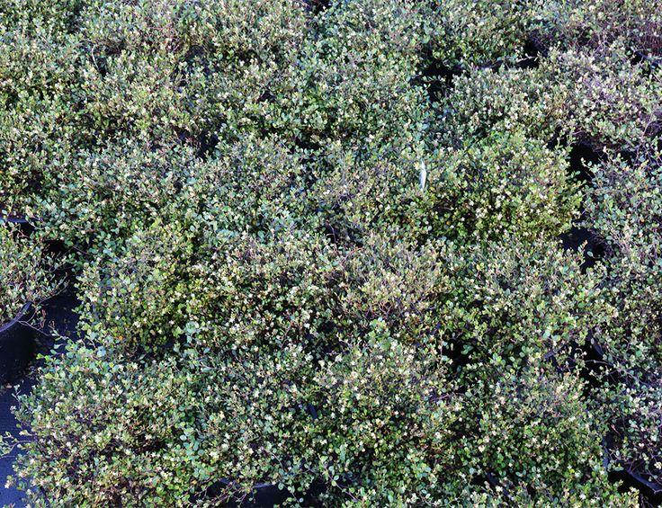 Muehlenbeckia axillaris Pohuehue - Awa Nursery