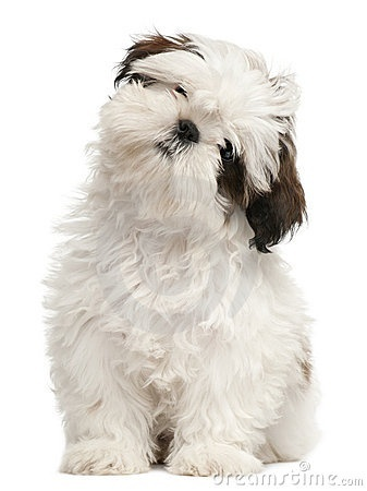 Shih Tzu puppy. Looks exactly like Abby when she was a puppy.