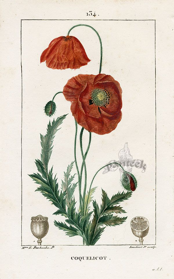 Red Poppy, botanical print, French