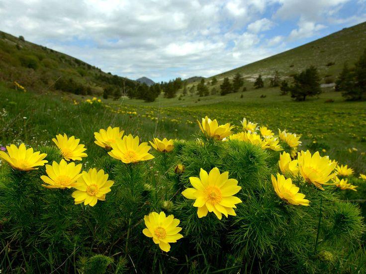 Fioritura di Adonis vernalis Parco Nazionale del Gran Sasso e Monti della Laga