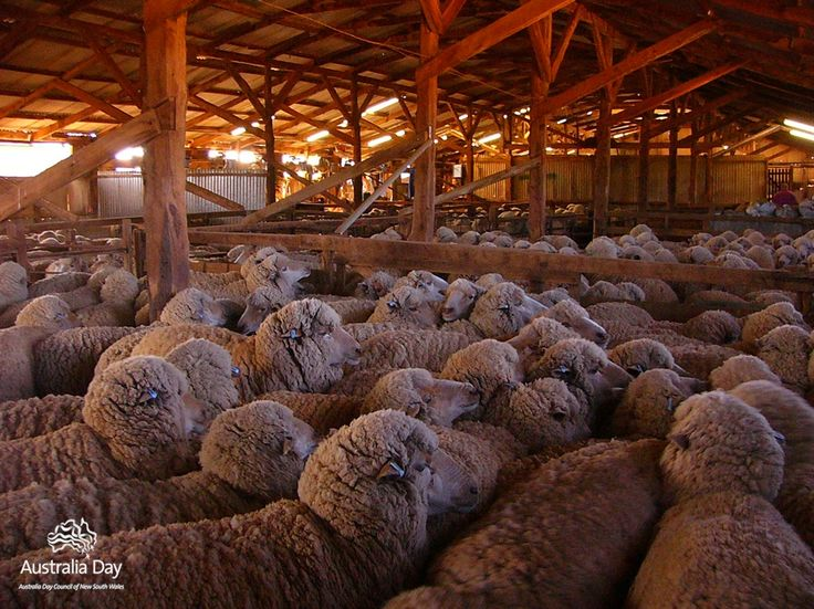 australian sheep waiting to be sheared