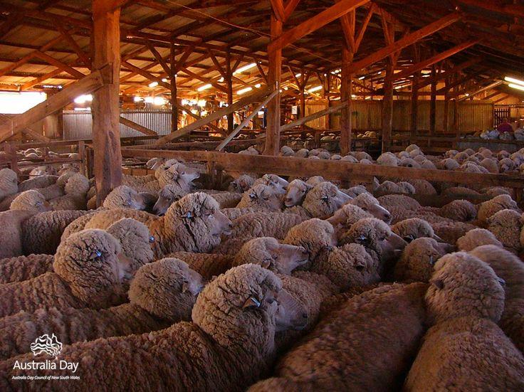 Australian sheep yarded, waiting to be sheared in shearing shed in outback Australia.  v@e.