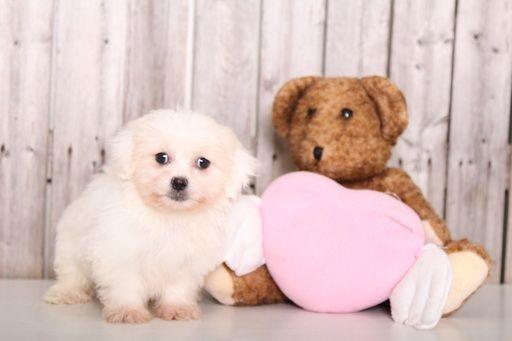 Zuchon puppy for sale in MOUNT VERNON, OH. ADN-59653 on PuppyFinder.com Gender: Female. Age: 10 Weeks Old