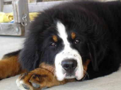 how could you not love that face? bernese mountain dog :)